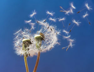 Two dandelions blowing in the wind
